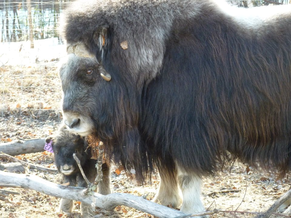 Muskox and baby at the Large Animal Research Station in Fairbanks. Image-LARS