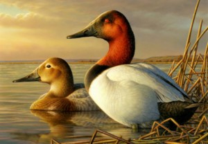 Oil painting by Adam Grimm of SOuth Dakota. It is this image that was used for the 2014 Duck Stamp. Image-FWS