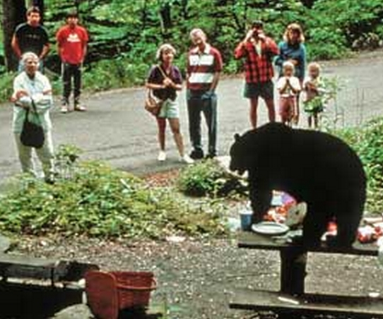 Black Bears can become nuisances whenever and wherever they realize food is present. Image-NPS