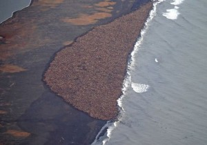 An estimated 35,000 walrus hauled out near Point Lay in September, 2014. Image-NOAA