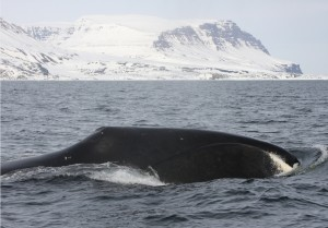 A bowhead whale in Disko Bay, West Greenland. The report finds that this population may be growing.Kristin Laidre / UW