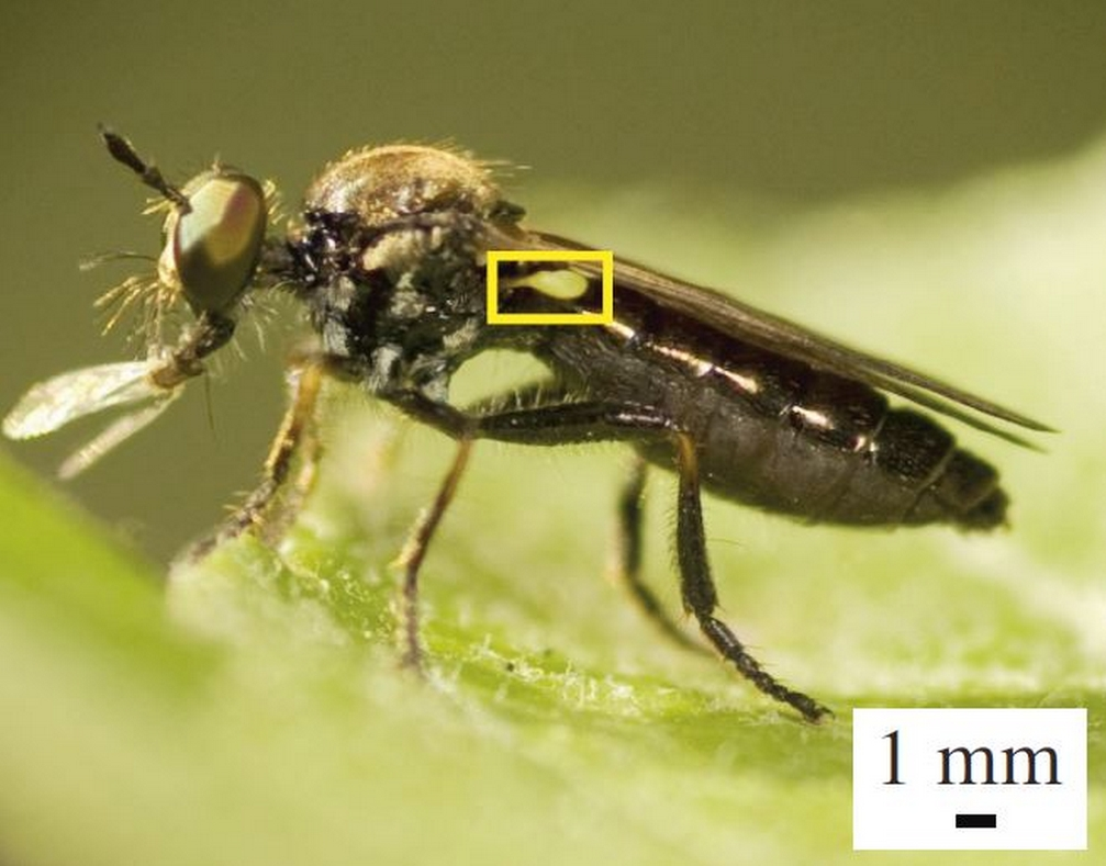 A robber fly with a very large haltere (inside yellow box). Halteres are sensors that act like gyroscopes, providing information about the insect's body rotations during flight.Armin Hinterwirth