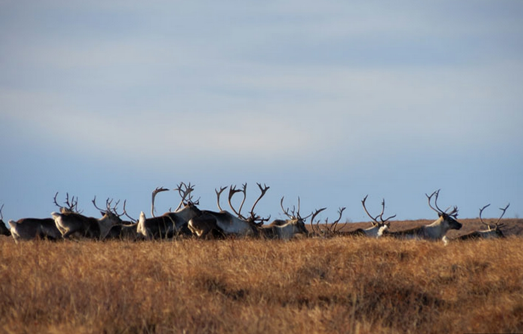 Cooperative Effort Places Harvest Restrictions on Northern Alaska Caribou Herds for First Time in Decades