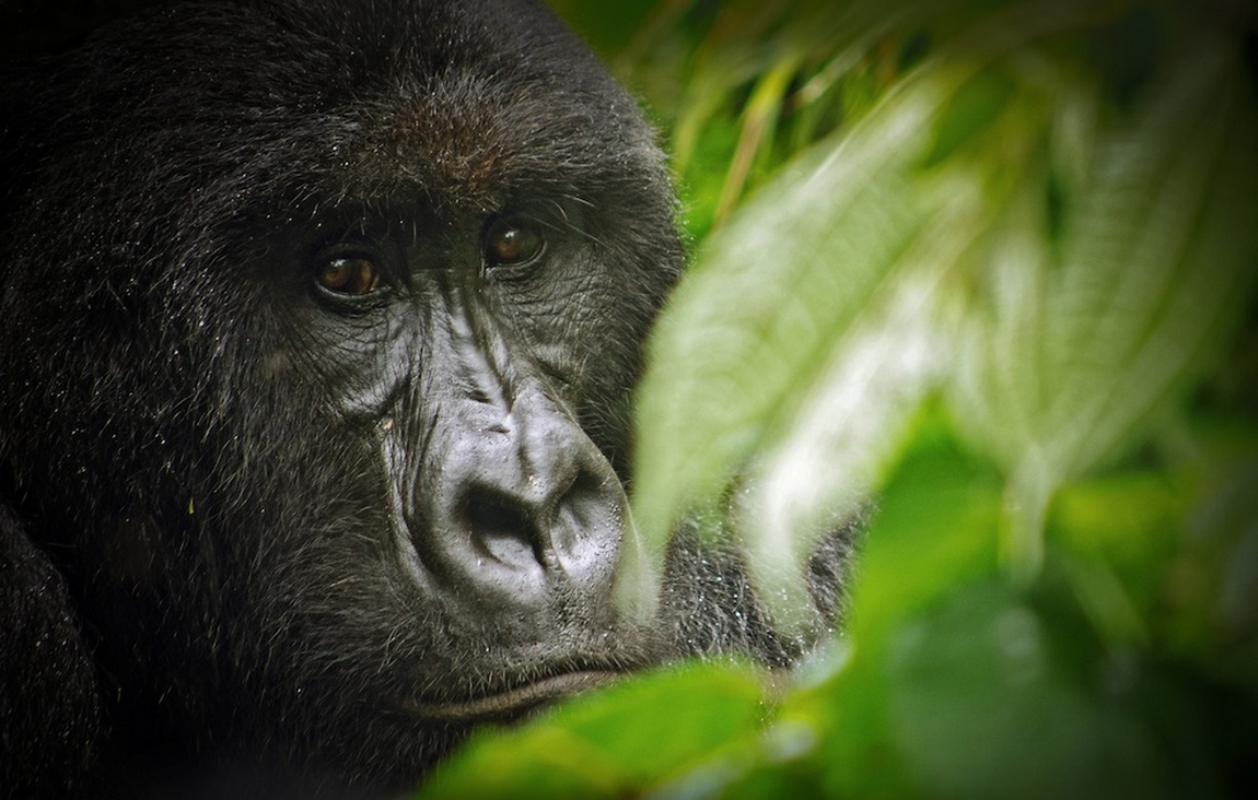 One of approximately 200 Mountain Gorillas that remain in Africa's Virunga Park in the Democratic Republic of the Congo. Image-LuAnne Cadd/Wikipedia