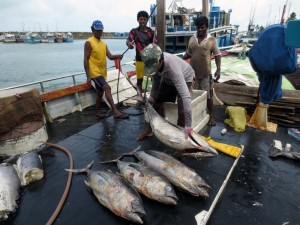 Fishermen in Sri Lanka returning from a three-week trip pull yellowfin tuna and swordfish from their icy holds to sell to middlemen.U of Washington