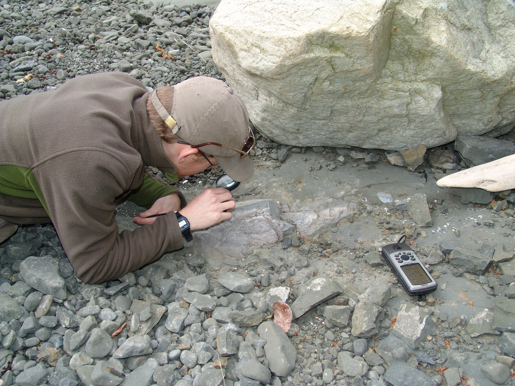 Adam Huttenlocker, then a UW graduate student and Burke Museum paleontologist, examines the first dinosaur fossil found in Washington state at Sucia Island State Park.Burke Museum