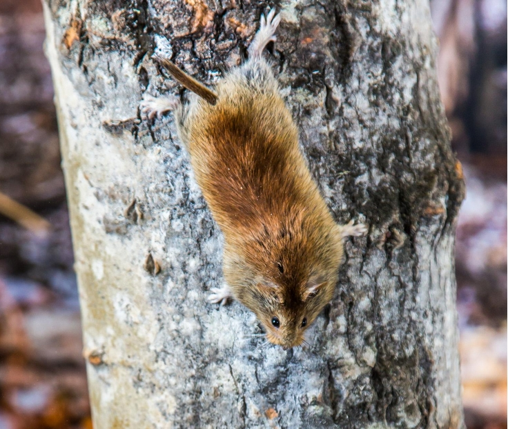 A northern red-backed vole climbing down a tree. UAF photo by Todd Paris.