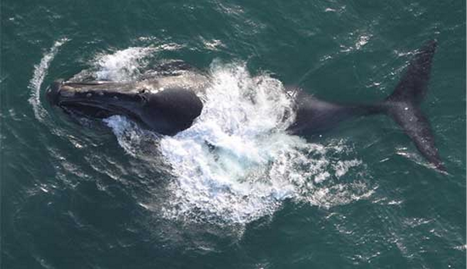 Aerial view of a North Pacific right whale observed in the Bering Sea. Photo NOAA Fisheries (August 2008).