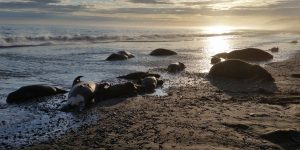 The coast near Cape Lisburne is littered with the carcasses of as many as 25 Walrus. Some are missing tusks. Image-DOJ