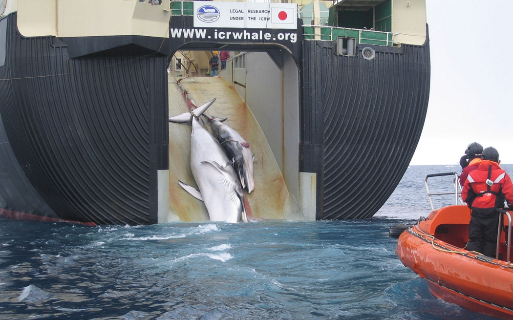 "A whale and a calf being loaded aboard a factory ship, the Nisshin Maru. The sign above the slipway reads, ""Legal research under the ICRW"". Australia released this photo to challenge that claim. Image-Australian Customs and Border Protection Service"