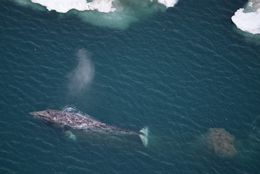 Aerial view of a gray whale near the ice edge with mud plume from bottom feeding. Photo credit: Vicki Beaver, NOAA Fisheries. NMFS Permit No. 14245. Funded by the Bureau of Ocean Energy Management (IA Contract No. M11PG00033).