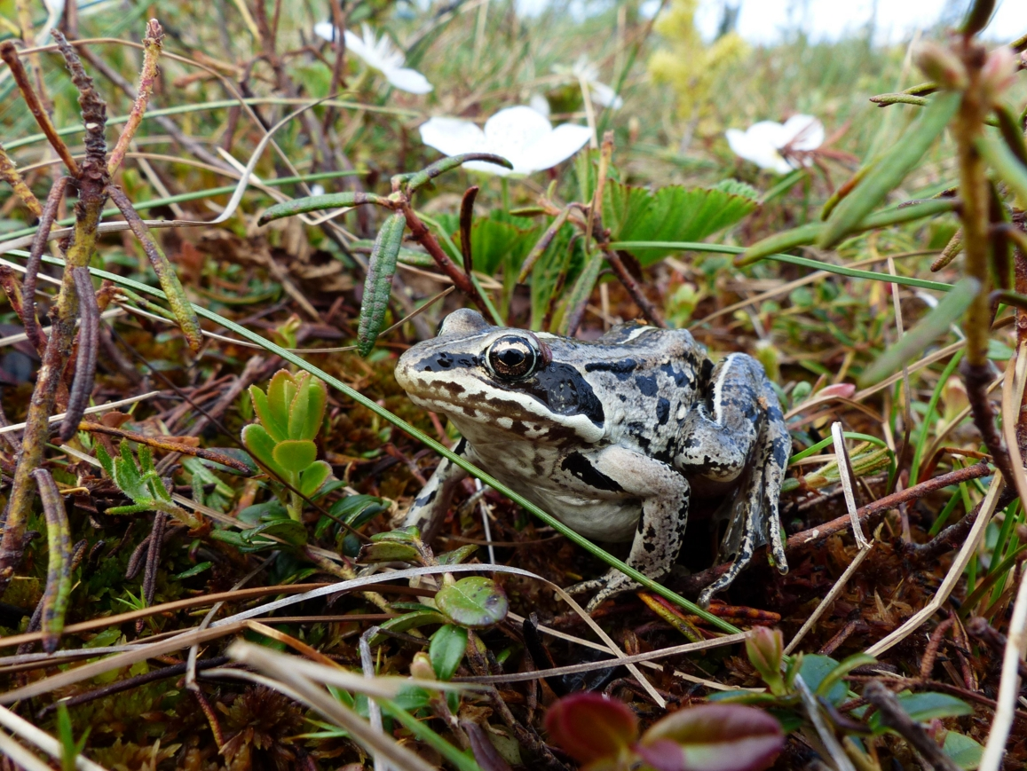 A wood frog, the only amphibian in northern Alaska. Photo by Mark Spangler.