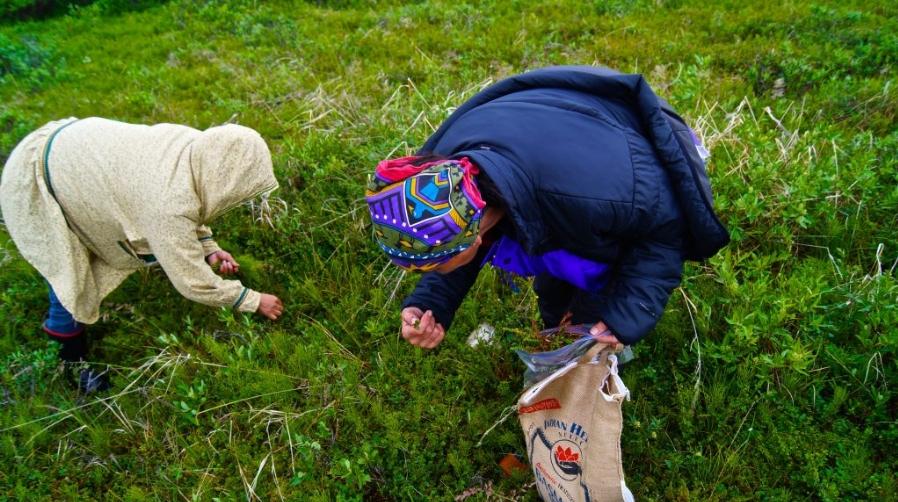 Gathering wild plants near Kotzebue. Image-Sarah Betcher