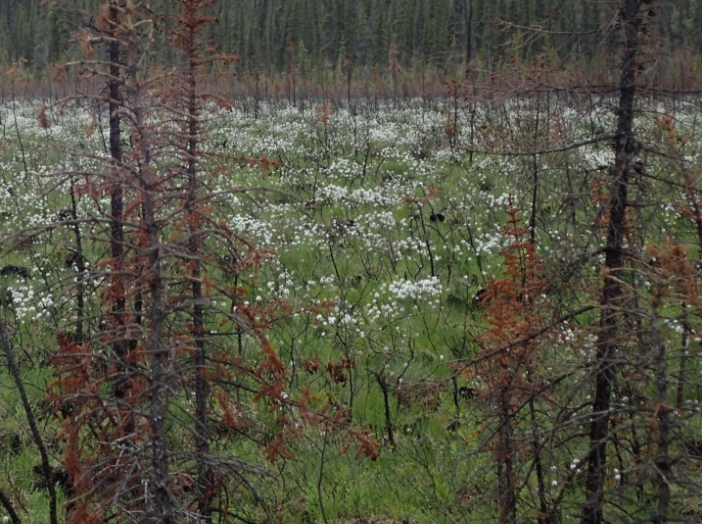 Cottongrass springs up on the site of a 2015 wildfire on Birch Creek in Interior Alaska. Photo by Ned Rozell.
