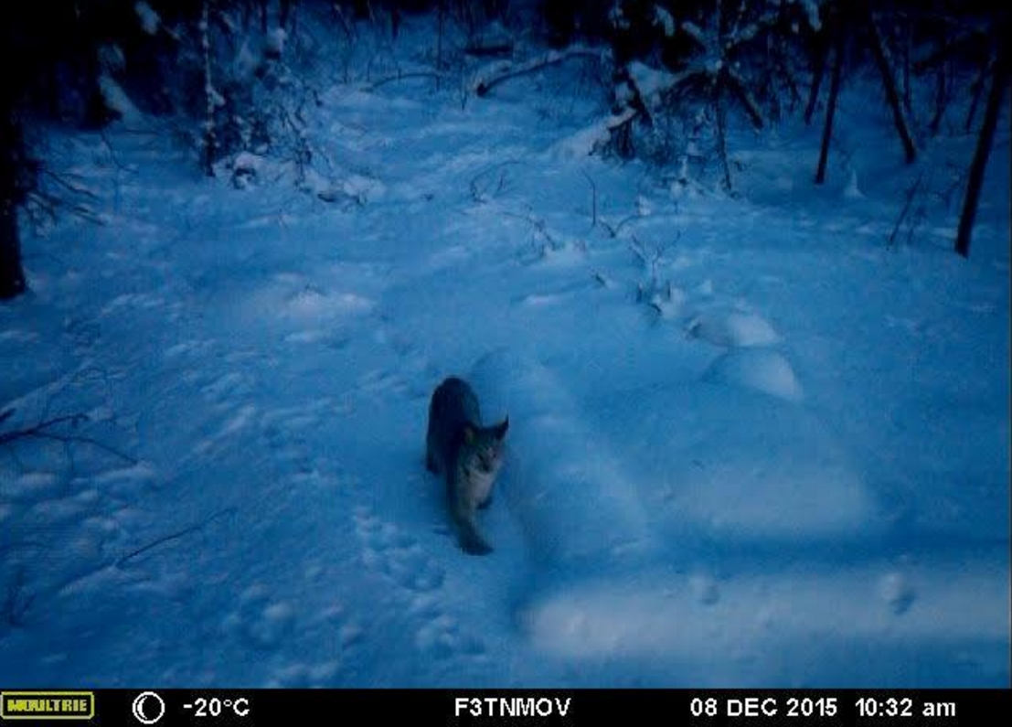 A lynx walks near a buried seismometer in a frame from a game-camera video. Seismologist Carl Tape installed the camera to confirm that bears were digging up his equipment. Courtesy of Carl Tape.