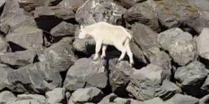 A Mountain Goat in downtown Seward near the harbor. Image-Screengrab S. Fink | Seward City News/YouTube video
