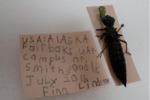 A dragonfly larvae caught and mounted by Finn Lindsey at UAF Summer Sessions Bug Camp. Photos by Ned Rozell.