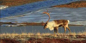 A North Slope caribou. Photo by Jim Dau.