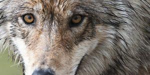 Denali Wolf. Image-National Park Service