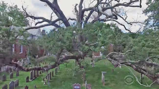 Community Says Goodbye to Beloved 600-Year-Old Tree