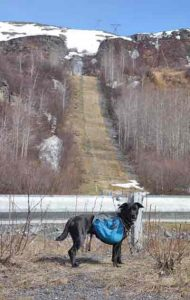 Cora the lab/blue heeler mix deciding to avoid the pipeline's path up Thompson Pass northeast of Valdez. She and Ned Rozell walked the Richardson Highway instead. Photo by Ned Rozell.