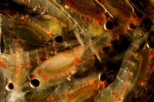 Euphausiids, or krill , are high fat, high quality food for juvenile pollock. Photo: NOAA Fisheries