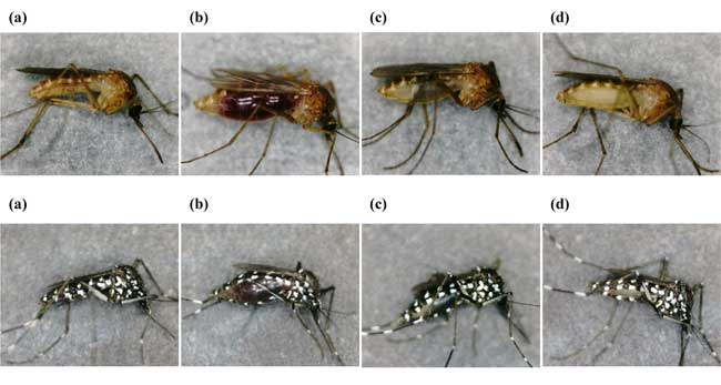 Stereomicroscopic images of two mosquito species at taken at different times after feeding on human blood. The upper and lower images respectively show Culex pipiens pallens and Aedes albopictus at different stages of digesting a human blood meal. (a) Unfed, and (b) 0 h, (c) 24 h, and (d) 72 h after-feeding. © Toshimich Yamamoto