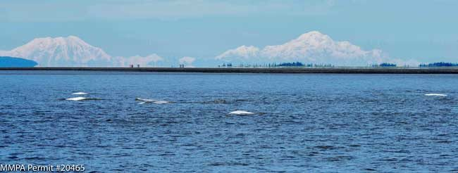 Cook Inlet beluga whales along the Susitna Delta, with views of Mt. Foraker and Denali in the background.   Photos: Paul Wade, NOAA Fisheries