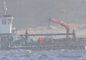 Atlantic Salmon being harvested from fish pens. Image-Youtube
