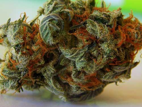 Marijuana bud. Image-Public Domain