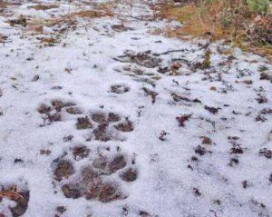 Wolf tracks.