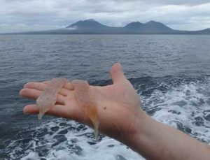 Researcher holds Sea Pickles, or Pyrosomes while in the Gulf of Alaska. Image-NOAA