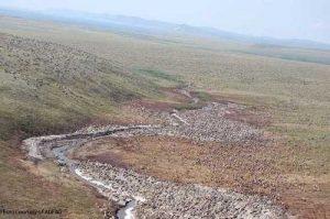 Western Arctic herd.Image-ADF&G