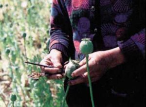 Worker harvesting opium latex from poppies. Image-CIA/Public Domain