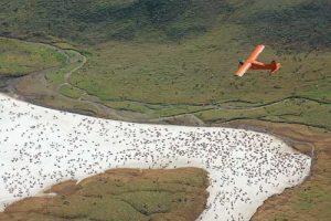 Aerial count of the Western Arctic Caribou herd, 2011. (Jim Dau / ADF&G)