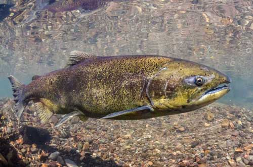 A Chinook salmon pictured in Oregon's McKenzie River. This adult fish is smaller than its predecessors.Morgan Bond