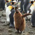 King Penguin chick. Image-Liam Quinn/