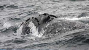 North Pacific Right Whale. Image-NOAA