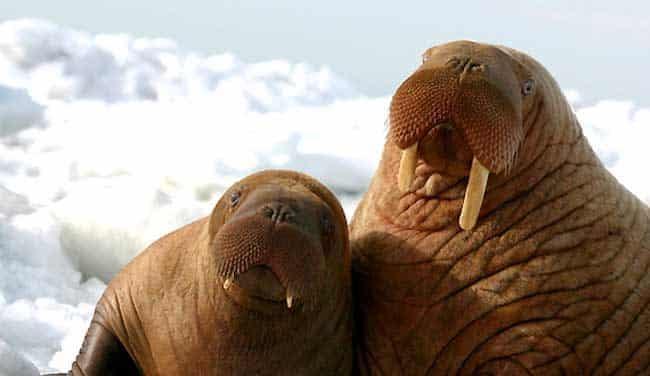 Pacific Walrus. Image-Joel Garlich Mill.