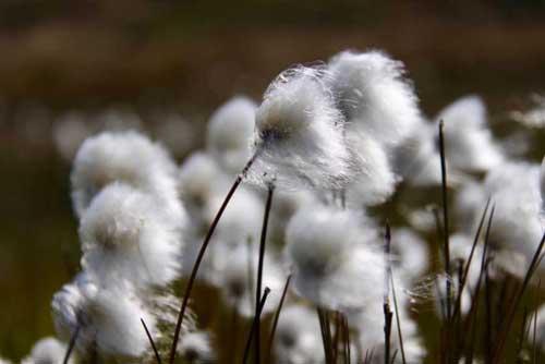 Cottongrass. (Eri Post/UC Davis)
