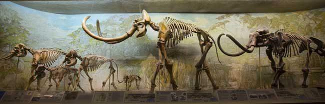 The University of Nebraska State Museum's Elephant Hall highlights the differences in current elephants (left) and mammoths (middle and right). Pictured (from left) is an African elephant; an Asian elephant with a juvenile; dwarf mammoth; Archie, a Columbian mammoth; and a Jefferson mammoth. (Troy Fedderson/University Communication)