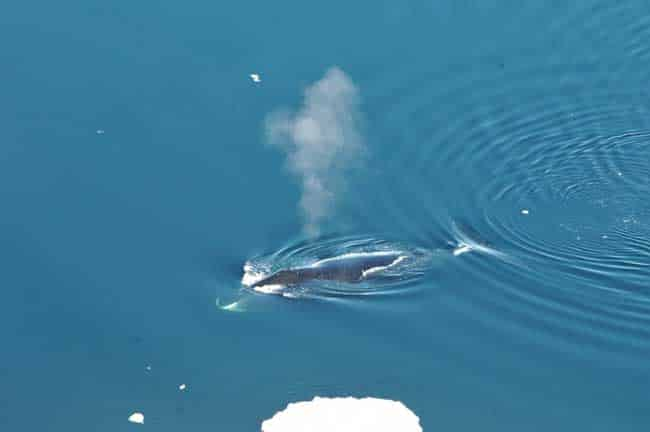 A bowhead whale surfaces in Fram Strait, to the northwest of Norway.Kit Kovacs/Norwegian Polar Institute