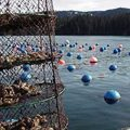 Longlines and a lantern net on an oyster farm in Southcentral Alaska. Image-ADF&G