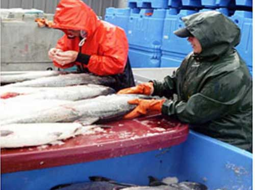 Workers sampling Copper River Salmon. Image-ADF&G