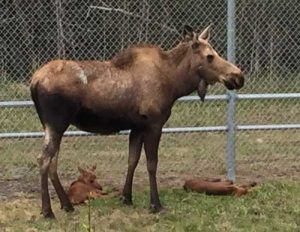 Mother moose with calves.