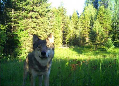 Smackout pack wolf courtesy Western Wildlife Conservation. This image is available for media use.