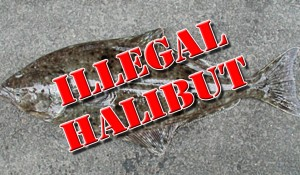 illegal halibut