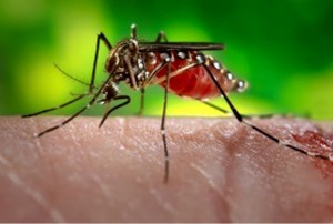 An Aedes aegypti mosquito feeds. Only the females feed on blood.James Gathany/CDC