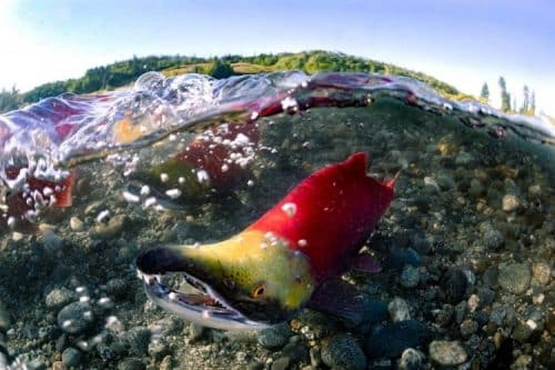 Hot Spots in Rivers that Nurture Young Salmon 'Flicker On and Off' in Alaska's Bristol Bay Region