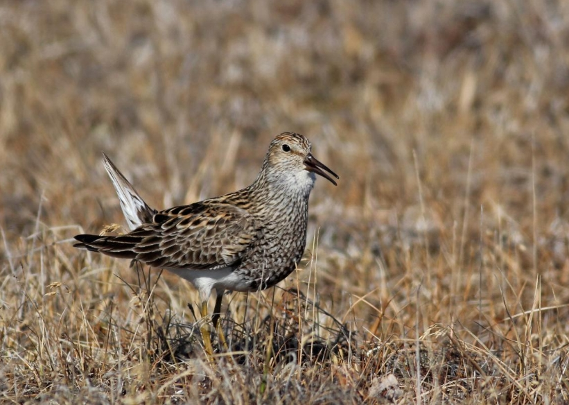 Pectoral Sandpipers and other shorebirds are being exposed to high levels of mercury in Alaska. CREDIT B. Lagasse